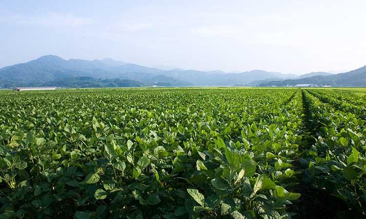 だだちゃ豆の本場 山形県鶴岡市白山地区
