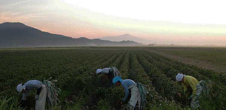白山だだちゃ豆の収穫