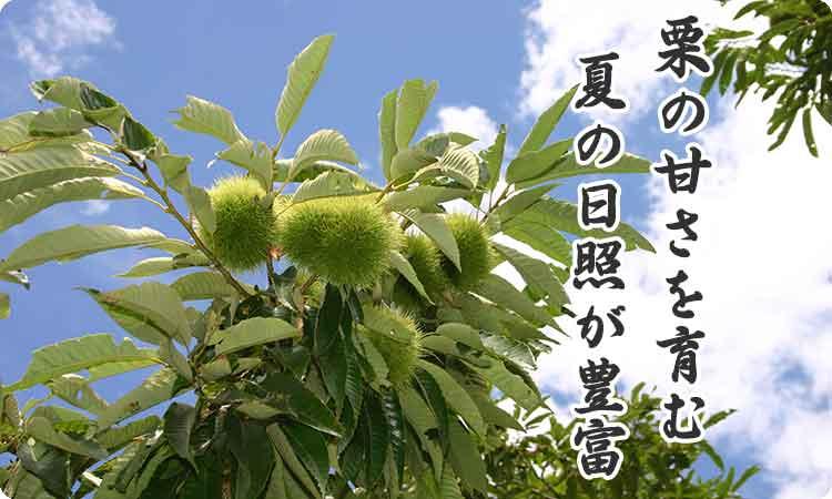 栗の甘味を育む夏の日照が国内最多