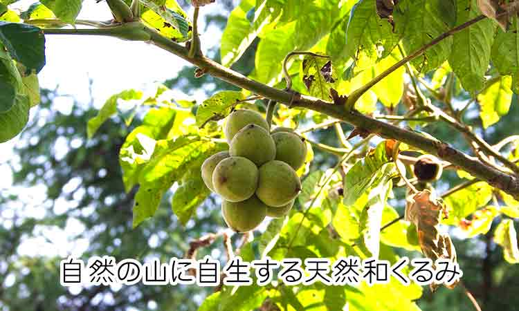 和胡桃の実