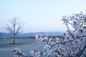 桜の花は満開