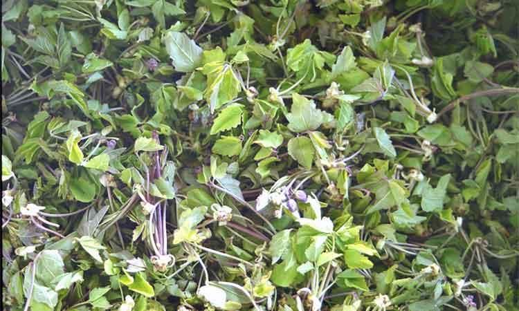 あけびの芽