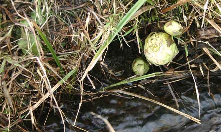 湧き水の流れる小川に生える天然ふきのとう