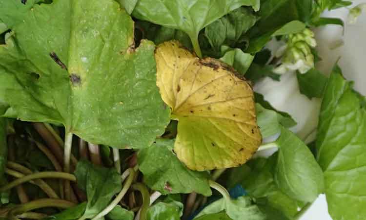 厳しい自然にさらされるので葉が傷む場合があります。