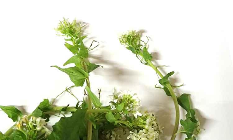 花が咲いて伸びた物が含まれる場合があります。