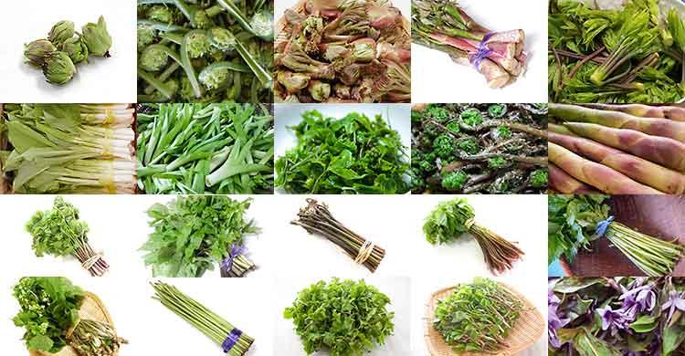 春の天然山菜 各種