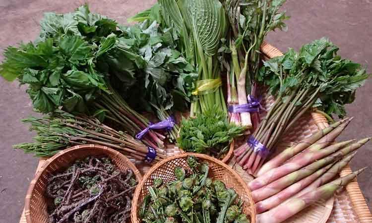 春の天然山菜