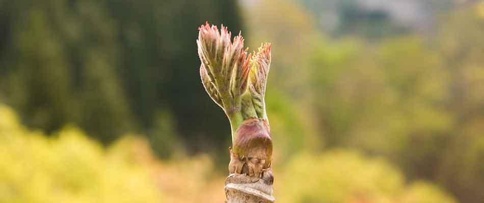 天然たらの芽